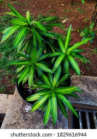 Dracaena Reflexa green plant with yellow outline