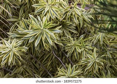 Dracaena Reflexa Plant in a Garden