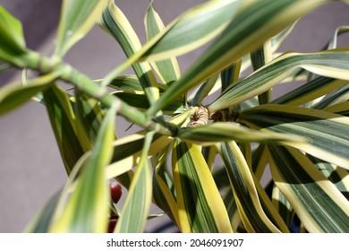 a dracaena reflexa plant with white mealybugs 6343