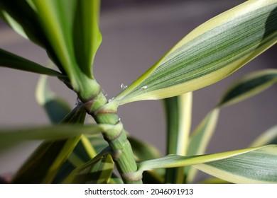 a dracaena reflexa plant with white mealybugs 6342