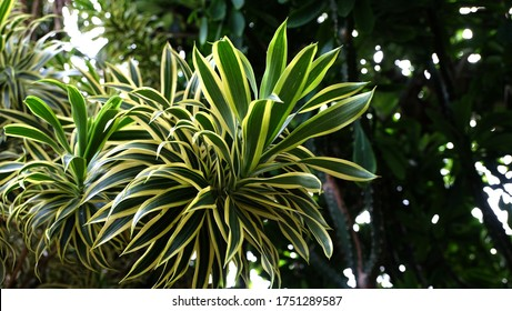 Dracaena reflexa , song of India flower. (daun suji)