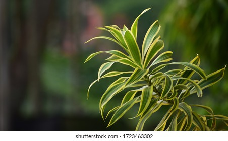 Dracaena Reflexa song of India, an indoor plant with colored leaves and irregular stems. Also used as an ornamental plant