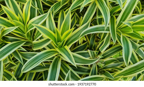 Dracaena reflexa is a tree native to Mozambique, Madagascar, Mauritius, and other nearby islands of the Indian Ocean. It is widely grown as an ornamental plant and houseplant. Song of india plant.