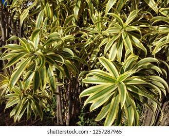 Dracaena reflexa 'Variegata' known as Song of India. It is widely grown as an ornamental plant and houseplant. Beautiful leaves background.