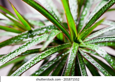 dracena marginata with water drops closeup