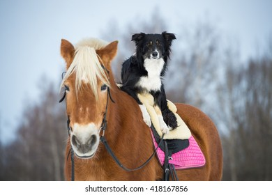 Draft horse and black tricolor border collie dog