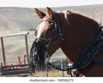 Draft horse used in hay operation with fringe added to its halter to cut down dust.