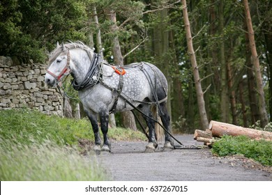 Draft Horse used for the removal of felled timber logging British England