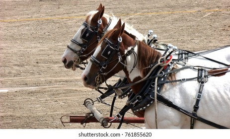 Draft horses in harness for pulling wagons and farm equipment.