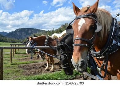 Draft and saddle horses in corrals and paddocks. Classic US Western images taken in Montana and Wyoming.