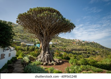 Drago park with famous millenario giant draceana tree. Tenerife, Spain.
