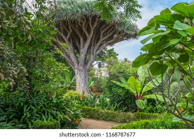 Drago surrounded by tropical vegetation in Hijuela del Botanico, in the city of La Orotava in Tenerife, Canary Islands