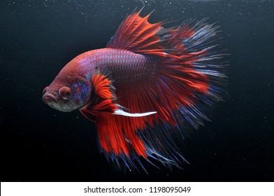dragon betta or cupang fish half moon red and purple