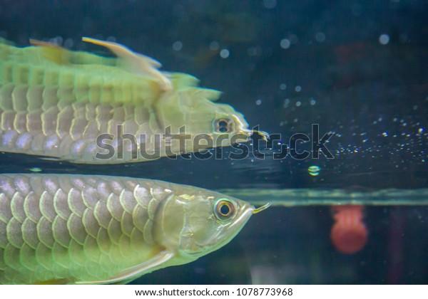 Dragon Fish Farming Aquarium House Stock Photo (Edit Now) 1078773968
