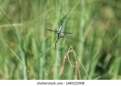 Dragon flies and Katydids resting on plants