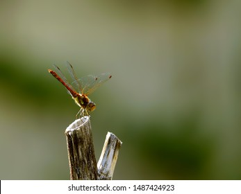 Dragon Fly Detail in nature