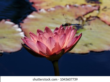 A dragon fly forages on a pink Kamal Water Lily on a botanical garden pond in Naples Florida in April.