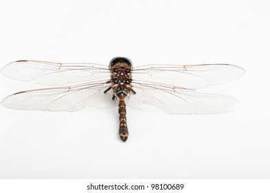 dragon fly on white back view