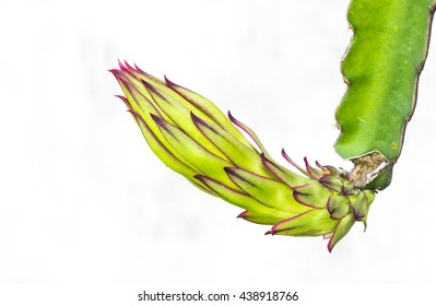 dragon fruit bud on whit isolate background.