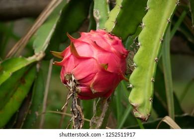 Dragon Fruit, close up of pitaya on cactus plant