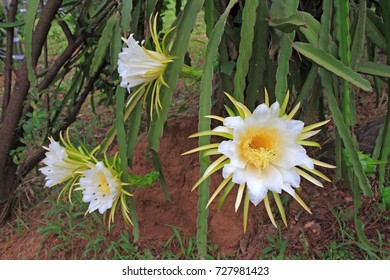 Dragon fruit flower on blooming