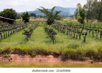 Dragon fruit plantation in Thailand