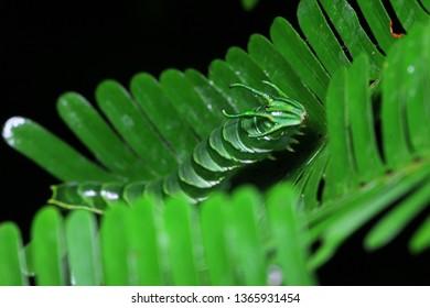 Dragon headed caterpillar, Polyura sp. caterpillar camouflage on green leaves habitat.