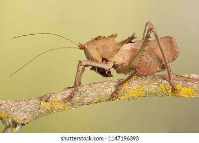 Dragon Headed Katydid (Eumegalodon blanchardi)