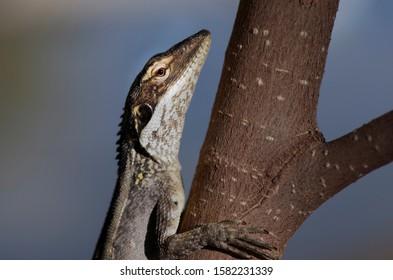 Dragon lizard close up on a tree ,Australia Red Centre