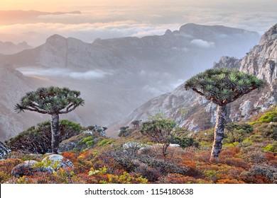 Dragon tree - Dracaena cinnabari - endemic tree from Soqotra, Yemen