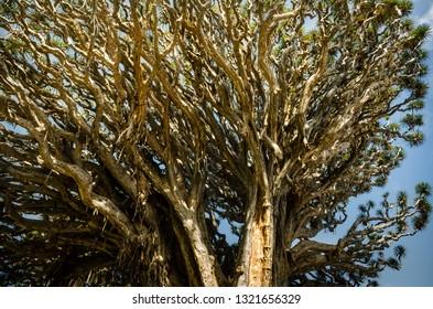 Dragon tree in Icod de los vinos Tenerife