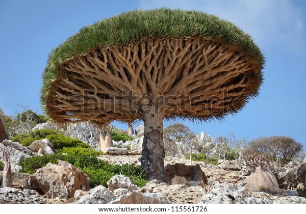Dragon tree, Socotra, Yemen