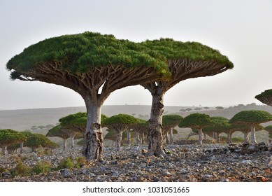 Dragon trees at Dixam plateau Socotra Island shown at sunset, Yemen, Africa