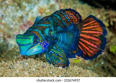 Dragonet mandarinfish in Banda, Indonesia underwater photo. Synchiropus splendidus has vivid colouration, also known as striped mandarinfish, striped dragonet.