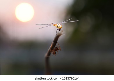 Dragonflies catch on the branches when the sun is falling.