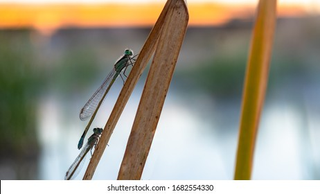 Dragonflies clinging to a reed alongside the Santa Cruz river in Pima County, Arizona. Early morning light with blue, green, tan and yellow colors.