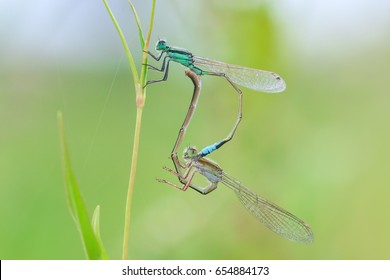 Dragonflies Mating