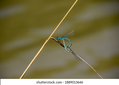 Dragonflies perched on blade of grass during reproduction