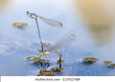 Dragonflies in tandem when laying eggs in the pond. While the female down, is laying the eggs it is guarded by the male above.