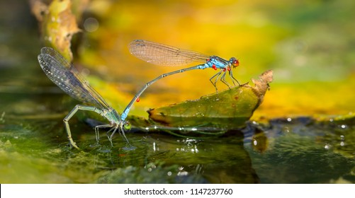 Dragonflies in tandem when laying eggs in the pond.