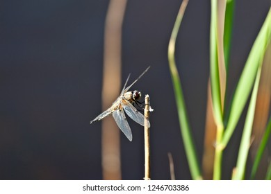 Dragonfly basks on a reed