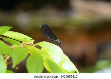 A dragonfly with a blue body and black wings lands on a leaf in Audubon Woods Nature Preserve, Mount Pleasant, Michigan.