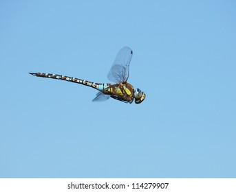 Dragonfly - Brachytron pratense on blue background