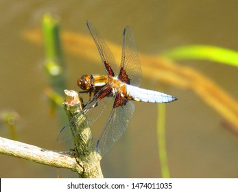 dragonfly called Black tailed skimmer, Orthetrum cancellatum,