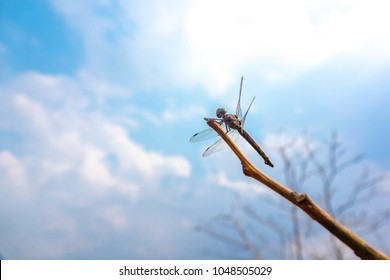 Dragonfly catching on branch tree on sky blue or azure sky and cloud. Adult dragonflies are two pairs of strong and transparent wings