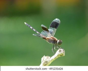 Dragonfly close up on stick in Amazon rain forest