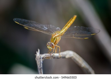 Dragonfly closeup, Dragonfly, Anisoptera