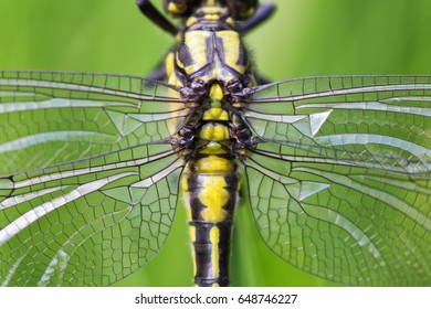 Dragonfly close-up. Symmetrical dragonfly torax with wings