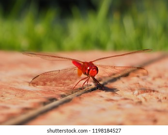 The dragonfly (Crocothemis erythraea) is an originally mainly African and Mediterranean common dragonfly species of the family of beakfish (Libellulidae), which belong to the great dragonfly.