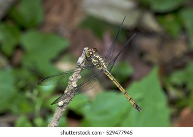 Dragonfly, Dragonflies of Thailand ( Lathriacista asiatica ), Dragonfly rest on twigs
